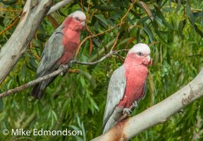 Galah Cockatoo mother & chick