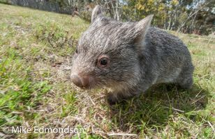 Baby Wombat out for a feed