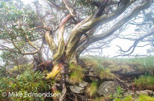 Misty wet Snowgums