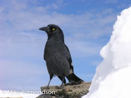 Pied Currawong enjoys the snow