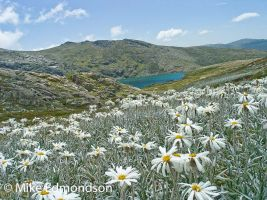 Silver Snow Daisies above Blue Lake