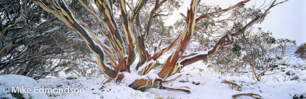 Snowcovered Gums