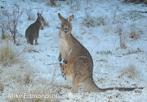 Snowy Mountains Kangaroos